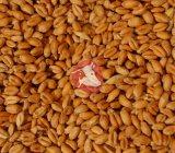 Пшеница 3