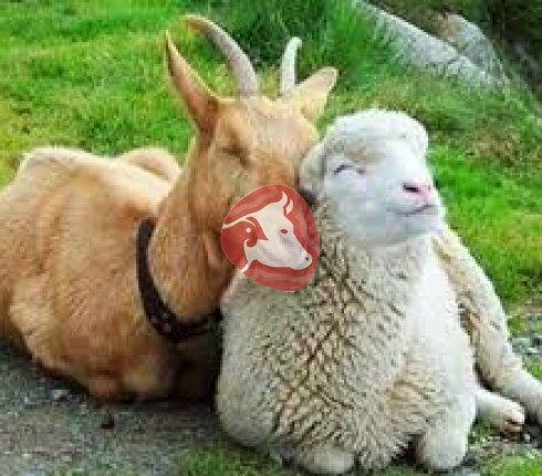 Овцы,козы